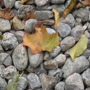 Mapleleafonrocksanndouglas